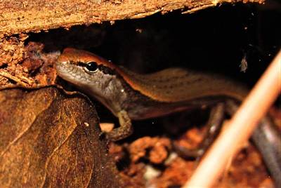 Photograph - Ground Skink by Joshua Bales