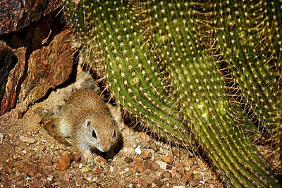 Photograph - Ground Squirrel And Cactus by Nikolyn McDonald
