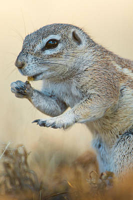 Feeding Photograph - Ground Squirrel Feeding, Etosha by Panoramic Images