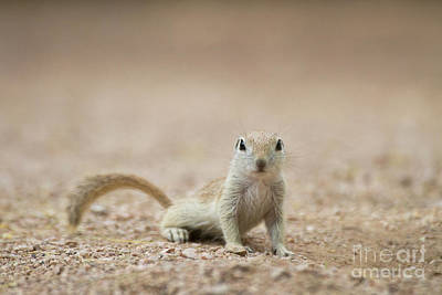 Round-tailed Ground Squirrel Photograph - Ground Squirrel I See You by Ruth Jolly