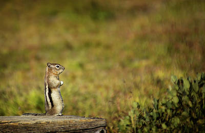 Photograph - Ground Squirrel In Glacier by Carolyn Derstine