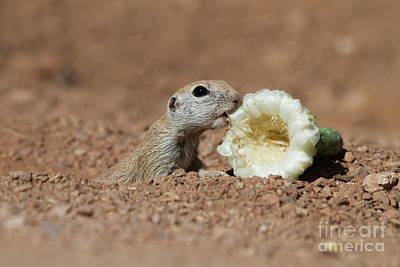 Round-tailed Ground Squirrel Photograph - Ground Squirrel With Lunch by Ruth Jolly