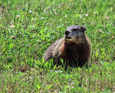 Photograph - Groundhog  by Debra Forand