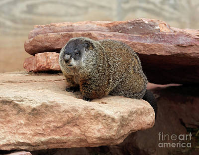 Groundhog Photograph - Groundhog by Louise Heusinkveld