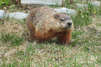 Photograph - Groundhog by Vicky Tarcau