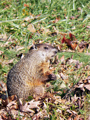 Groundhog Photograph - Groundhog Way by Jennifer Robin