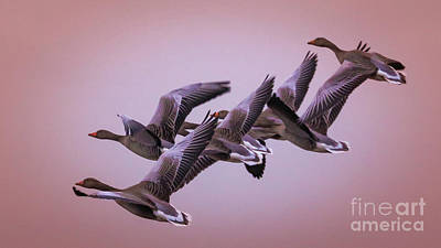 Photograph -  Group Flight  by Franziskus Pfleghart
