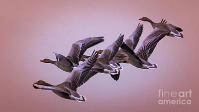 Photograph -  Group Flight  by Franziskus Pfleghart