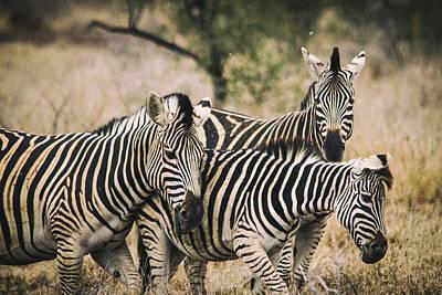 Group Of Zebras Art Print