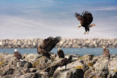 Neah Bay Photograph - Group Of Aggressive Bald Eagles At Neah Bay In Washington by Brandon Alms