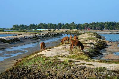 Photograph - Group Of Brown Hairy Donkeys Eat Grass Near Sea Sri Lanka by Imran Ahmed