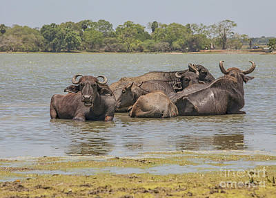 Photograph - Group Of Buffaloes In  A Lake by Patricia Hofmeester