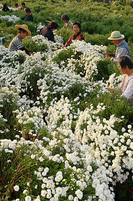 China Photograph - Group Of Chinese Labourers Picking Chrysanthemum Flowers For Tea by Reimar Gaertner