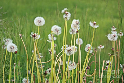 Photograph - Group Of Dandelion Weeds by Terri Mills