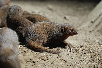 Photograph - Group Of Dwarf Mongooses Digging Holes by DejaVu Designs