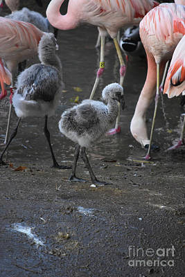 Photograph - Group Of Flamingos With Two Baby Flamingos  by DejaVu Designs