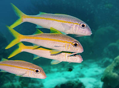 Photograph - Group Of Goatfish by Jean Noren
