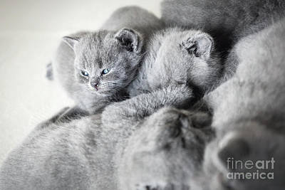 Photograph - Group Of Laying Cats. British Shorthair. by Michal Bednarek