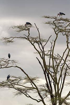 Photograph - Group Of Marabou Storks On A Tree by RicardMN Photography