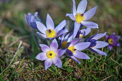 Photograph - Group Of Pulsatilla Flowers With Rain Drops by Jenny Rainbow