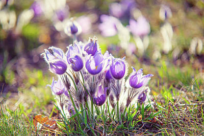 Photograph - Group Of Sunlit Pasque Flowers by Jenny Rainbow
