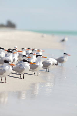 Selective Focus Photograph - Group Of Terns On Sandy Beach by Angela Auclair