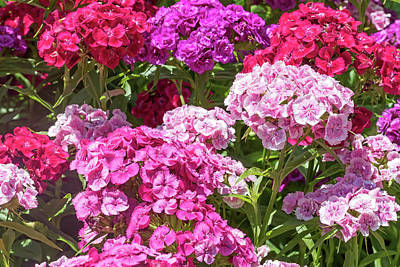 Photograph - Group Of The Sweet William Summer Flower by Jaroslav Frank