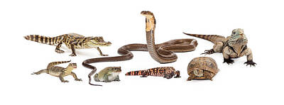 Reptiles Royalty-Free and Rights-Managed Images - Group of Various Reptiles by Susan Schmitz