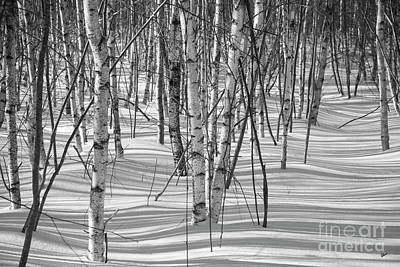 Photograph - Group Of White Birches by Alana Ranney
