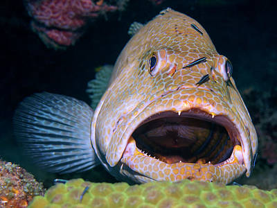 Photograph - Grouper And Gobys by Mauricio Riquelme