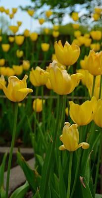 Grouping Of Yellow Tulips Art Print