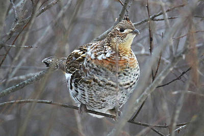 Photograph - Grouse by Brook Burling