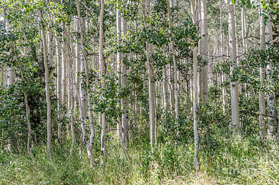 Photograph - Grove Of Quaking Aspen Aka Quakies by Sue Smith