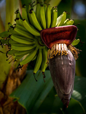 Fruits Photograph - Growing Bananas by Zina Stromberg