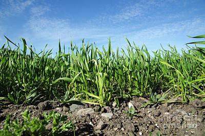 Photograph - Growing Corn Closeup by Kennerth and Birgitta Kullman
