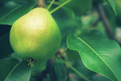 Photograph - Growing Pear by Jeanette Fellows