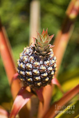 Hawaii Photograph - Growing Pineapple by Ron Dahlquist - Printscapes