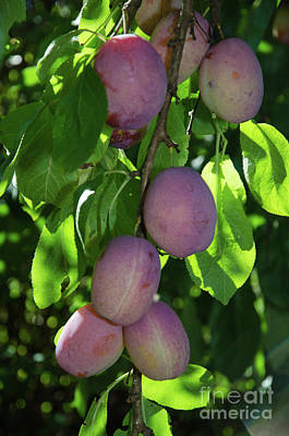 Photograph - Growing Plums by Kennerth and Birgitta Kullman