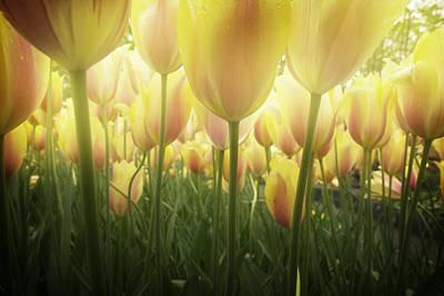 Growing  Tulips  Art Print