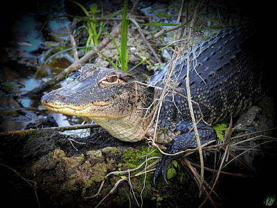 Photograph - Growing Up Gator, No. 26 by Elie Wolf