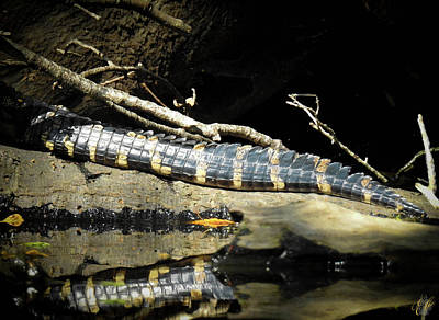 Animals Photos - Growing Up Gator, No. 28 by Elie Wolf