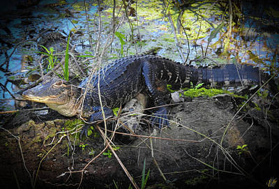 Photograph - Growing Up Gator, No. 29 by Elie Wolf