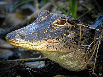 Animals Photos - Growing Up Gator, No. 30 by Elie Wolf