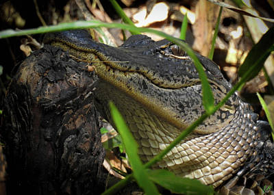 Photograph - Growing Up Gator, No. 32 by Elie Wolf