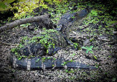 Photograph - Growing Up Gator, No. 38 by Elie Wolf