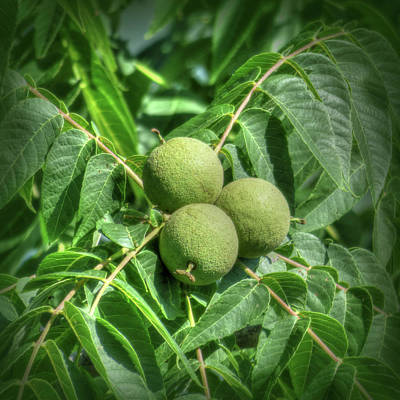 Photograph - Growing Walnuts by Leslie Montgomery