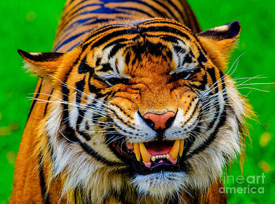 Photograph - Growling Tiger by Ray Shiu