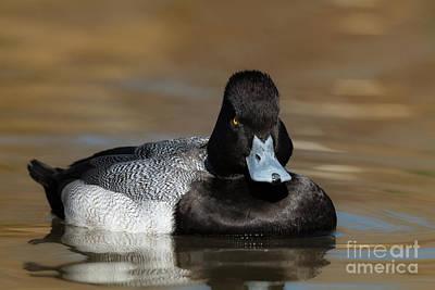 Photograph - Grumpy Duck by David Cutts