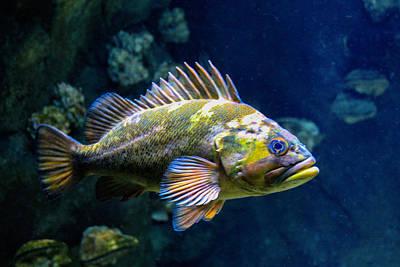 Photograph - Grumpy Rockfish by Bonnie Follett