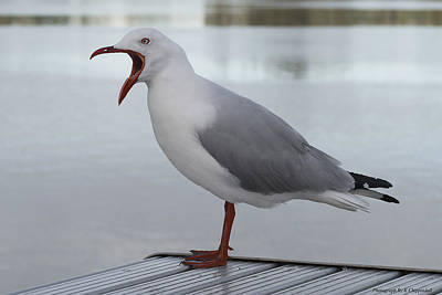Photograph - Grumpy Seagull 01 by Kevin Chippindall